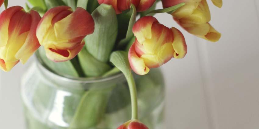 tulipan-cvijeće-praktični-savjet-održavanje-modnialmanah