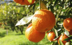 zdravlje-mandarina-vitamin-c-modnialmanha